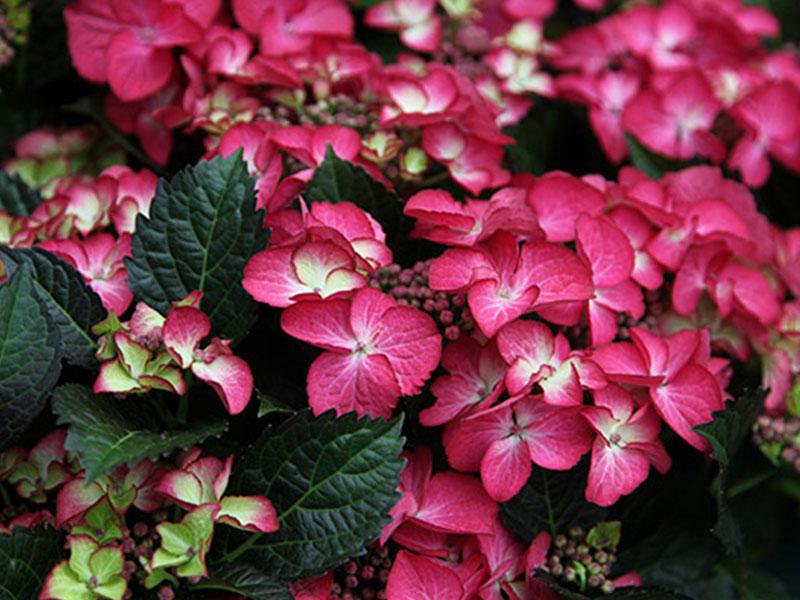 Der Frühjahrstrend: die farbenfrohe Hydrangea