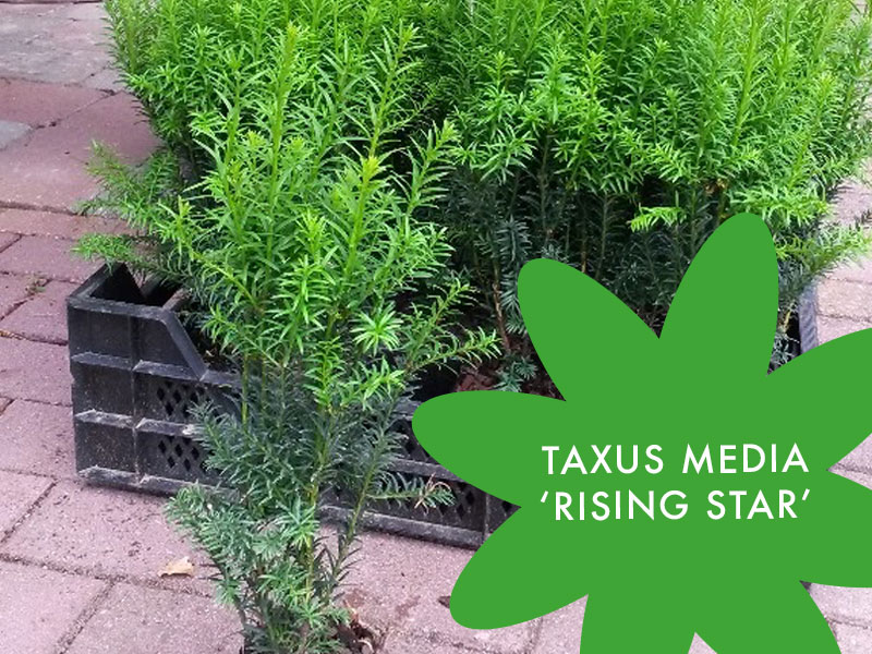 Taxus media 'Rising Star'